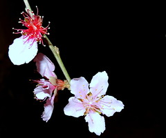 Night Flowers (Khaled M. K. HEGAZY) Tags: nikon coolpix p520 newcairo egypt nature outdoor closeup macro cherry stamen pistil plant flower petal bud red green white pink black