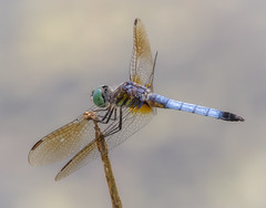 Blue Dasher male (tresed47) Tags: 2016 201607jul 20160701kerrparkinsects bluedasher brandywinekardon canon7d chestercounty content dragonflies flowers folder insects pennsylvania peterscamera petersphotos places takenby us ngc npc