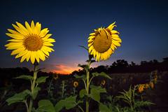 Bugs on the Sun (Mark S Weaver) Tags: mckeebesherswildlifemanagementarea sunflowers canon5dmkii night ngc blue sunset hour sky nature flowers samyang 14mm