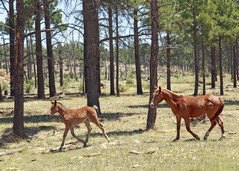 I58C9460-crop (Wild Arizona Photography) Tags: trees horses forest pony wildhorses