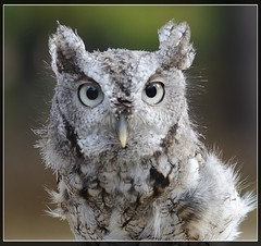 """Finding sweetness...Screech Owl (Christine Fusco ~ """"Jersey Strong"""") Tags: eyes nocturnal gray owl greyeasternscreechowl"""