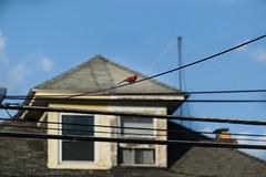 #Cardinal on a wire #birds #Harrisburg ##birdsofharrisburg #bluesky #pennsylvania (billtrego) Tags: birds cardinal pennsylvania bluesky harrisburg birdsofharrisburg