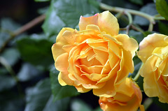 Yellow Rose (tonny.froyen) Tags: yellowroses yellow heart rose roses roselove roselover rosa rosegarden romance flower flowers molde plants blumen beauty beautifulroses rosesofinstagram rosestagram amour passion garden love