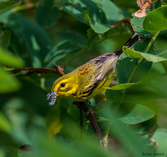 Prairie Warbler (b88harris) Tags: wood family trees red summer brown sun sunlight black tree sunshine yellow woods nikon exposure feeding ngc young 300mm caterpillar locust prairie nikkor migration warbler songbird d7200