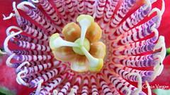 Passion flower ( Graa Vargas ) Tags: passionflower flordemaracuj passifloracaerulea passiflora flower graavargas2016allrightsreserved macro 12007020816 graavargas