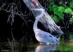 Great Blue Heron (Lois McNaught) Tags: greatblueheron heron bird avian aquaticbird nature wildlife outdoor summer hamilton ontario canada reflection