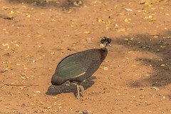 Crested Guineafowl_9104-20151021 (C&P_Pics) Tags: crestedguineafowl guineafowl kumasingahide mkuze pgc southafrica2015 stluciapark kwazulunatal southafrica za