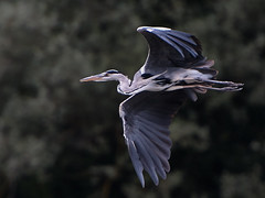 Hron Cendr en vol (BelgiumOnePoint) Tags: hron bird oiseau chassier plume voler bec nature genval lacdegenval nikon d500 greyheron reiger vogel c1