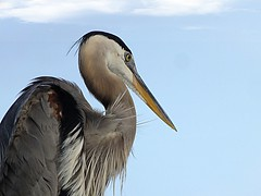 My buddy (acxicat) Tags: nature gulf shores state park blue heron fuji finepix hs20 exr