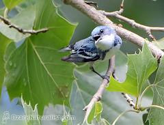 Cerulean Warbler (An Ozark Naturalist) Tags: ceruleanwarbler setophagacerulea woodwarbler warbler bird birds elevenpointriver greerrecreationarea marktwainnationalforest