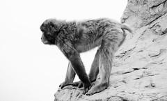 Macaca fuscata --  Japanese Macaque 1259 (2) (Tangled Bank) Tags: asahiyama zoo zoological gardens hokkaido japan primate macaca fuscata japanese macaques 1272 monkey snow