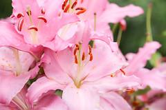 (Carl_W) Tags: flower flowershow hongkong hongkongflowershow2016 pink canon canoneos6d eos eos6d 6d