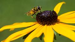 Bee (Peter Grob) Tags: biene blumen gelb makro grossdietwil luzern schweiz ch