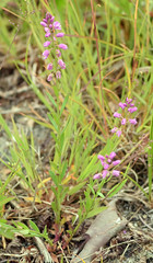 racemed milkwort in bloom (ophis) Tags: polygalaceae polygala polygalapolygama racemedmilkwort milkwort