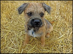 Rusty (dark-dawud) Tags: rusty borderterrier dog portrait puppy