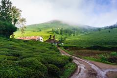 Lovedale (criatvt) Tags: green teaestate thenilgiris bluemountains india tamilnadu mist fog