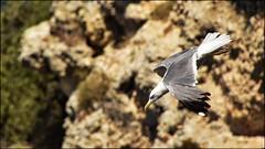 _DSC1295 (Valber78) Tags: mouette nikon5500 seabird oiseau birds