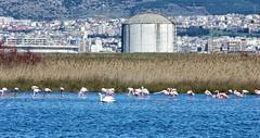 IMGP8808-3 (Axel12p) Tags: pentax flamingo  kalochori  pentaxda55300   pentaxk5ii