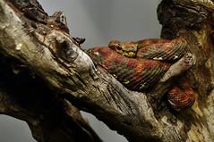 Eyelash Palm Pitviper (Bothriechis schlegelii)_DSC0196 (ikerekes81) Tags: washingtondc dc nikon reptile snake nationalzoo carnivore venomous nikond3200 dczoo bothriechisschlegelii smithsoniannationalzoologicalpark d3200 washingtondczoo eyelashpalmpitviper