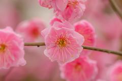 /Plum blossom 3 (koludabone49) Tags: plant flower japan spring nikon plum    plumtree       d5100