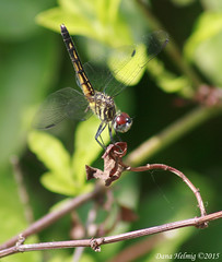 Blue Dasher Female (horizonsmoon1) Tags: nature canon photography wasp florida dragonflies dragonfly wildlife insects bluedasher canonrebelxti