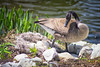 Protecting Her Eggs (SteveFrazierPhotography.com) Tags: goose geese duck mother eggs nest nesting lakeruth wiu westernillinoisuniversity canon 60d canoneos60d lightroom photoshop googlenikcollection stevefrazierphotography shoreline pond water down feathers beak sunshine spring springtime mcdonoughcounty illinois il america usa unitedstates rocks reeds waves closeup campus beautiful nature