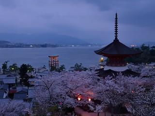 Today's Itsukushima shrine and Sakura