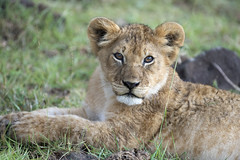 _JMH9096 (joannehedger) Tags: lion bigfive masaimara pantheraleo nubica joannehedger httpjoannehedgerblogspotcouk