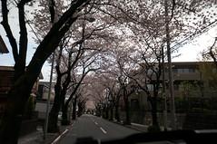 DSC06608 (macco☆) Tags: japan cherry blossom 桜 日本 sakura さくら サクラ