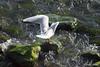 Gabbiano (umby86) Tags: animal canon fly italia seagull uccelli volo lungomare bianco animali salerno gabbiano eos500d