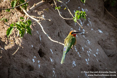 White-Fronted Bee-Eaters  In Chobe National Park Botswana