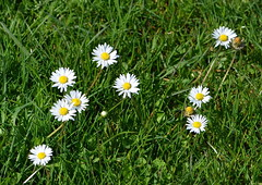 Daisies in the Grass (Neal D) Tags: flower vancouver bc stanleypark wildflowers