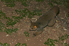 Thick-tailed Bushbaby (Otolemur crassicaudatus) (berniedup) Tags: southafrica kruger letaba otolemurcrassicaudatus thicktailedbushbaby taxonomy:binomial=otolemurcrassicaudatus