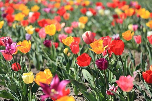 Cut yourself a tulip   ***   Pflück' Dir eine Tulpe