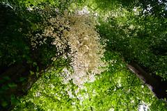 Albino Lindenast (Manuel Eumann) Tags: white tree green nature landscape leaf nikon linden natur albino grn landschaft bltter schleswigholstein linde norddeutschland weis d610 pln manueleumann