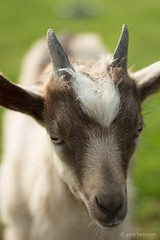 bokje, Nederlands Landgeit (beltmg) Tags: nederlandse landgeit geit bokje gert beltman