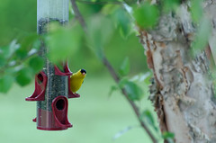 Who you lookin at? (timbo on the hill) Tags: nikond7000 summer story indiana remedyranch usa 2016 yellowfinch finch bird birdfeeder