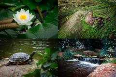 179|365 MediaPark Kln (Silent Purr) Tags: 365dayproject 365project kln mediapark ente schildkrte seerose tortoise duck waterlily