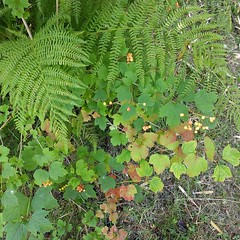 #fern (#crampberry #cranberrybush #highbushcranberry, etc) near the #wetland #BullocksPermacultureHomestead (Heath & the B.L.T. boys) Tags: instagram farm permaculture berries fern