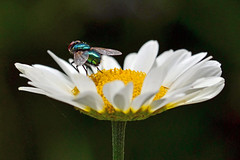 One Green-bottle sitting on a ... (AndyorDij) Tags: greenbottle fly greenbottlefly luciliacaesar insects insect anthemis daisy empingham england rutland uk unitedkingdom 2016