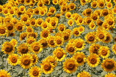 Summer place (Teruhide Tomori) Tags: nature summer yosano kyoto japan flower sunflower