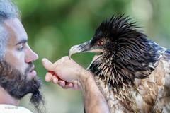 Les 2 barbus : Bastik, gypate barbu de 3 ans, et son dresseur (sfrancois73) Tags: oiseau faune gypatebarbu