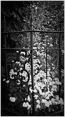 (CanMan90) Tags: flowers summer canon fence outdoors blackwhite iron britishcolumbia victoria vancouverisland friday rebelt3i