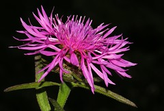 Common Knapweed 140716 (Richard Collier - Wildlife and Travel Photography) Tags: flowersenglishflowers flowers wildflowers british flora knapweedcentaureascabiosa pink macro black macroonblack
