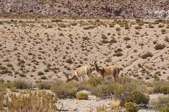 Vicuñas - Ollagüe, Chile. (El ojo etnográfico) Tags: amincha azufrera ollagüe azufre antofagasta chile desierto desert salar quechua rawtherapee