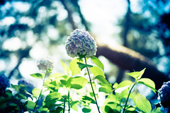 Up (moaan) Tags: kobe hyogo japan jp flower flowering flora hydrangea upward hope wish mtrokko bokeh dof utata 2016 leica mp leicamp type240 summilux 50mm f14 summilux50mmf14asph