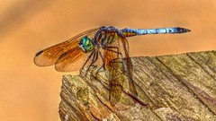 P1030305j (jmctuna) Tags: insect lumix bigeyes colorful dragonfly panasonic hdr jmctuna fz200