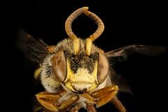 Nomada denticulata, m, face, Charles Co. Maryland_2016-06-27-16.19.00 ZS PMax UDR (Sam Droege) Tags: zerenestacker stackshot geologicalsurvey unitedstatesgeologicalsurvey departmentoftheinterior droege biml beeinventoryandmonitoringlaboratory bug bugs canon closeup macro insect patuxentwildliferesearchcenter pwrc usgs dofstacking stacking canonmpe65 taxonomy:binomial=nomadadenticulata bee bees apoidea hymenoptera pollinator nativebee amandarobinson charlescounty maryland