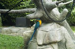 Ara Macao (querin.rene) Tags: renéquerin qdesign parcolecornelle parcofaunistico lecornelle animali animals ara pappagallo aramacao