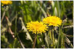 Blowball (www.eurodomen.com) Tags: dandelion flower grass leaf green yellow       blowball